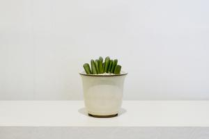 ハオルチア属グリーン玉扇f.jpg