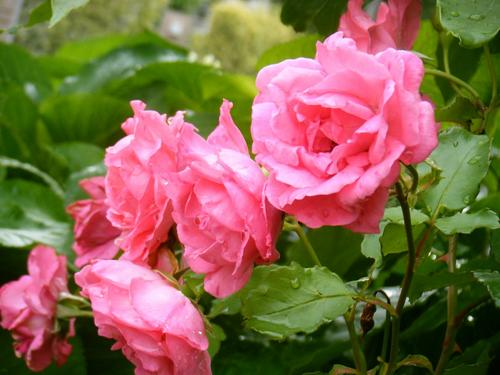 rose0906.JPG