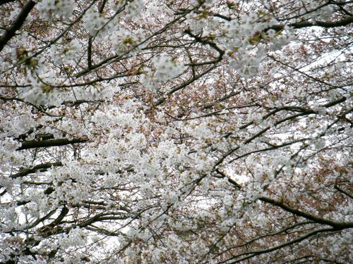 sakura2009.JPG